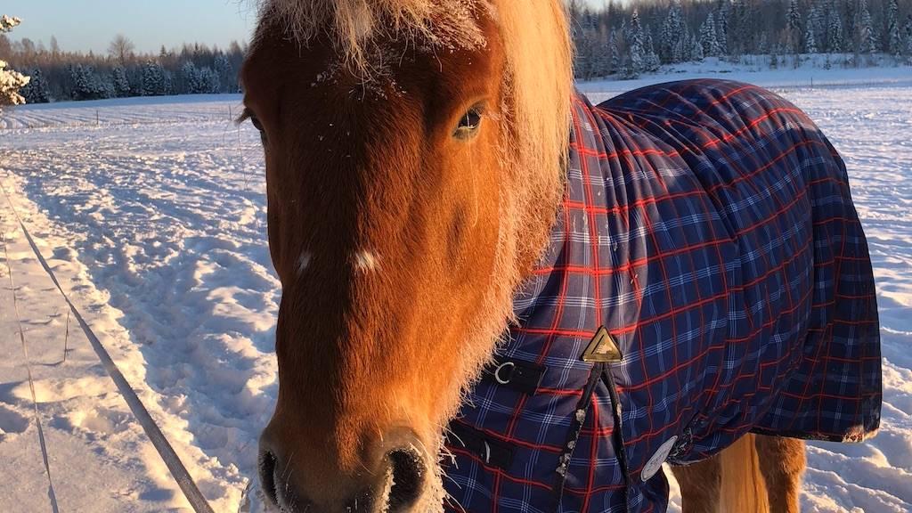 hevosen loimitus
