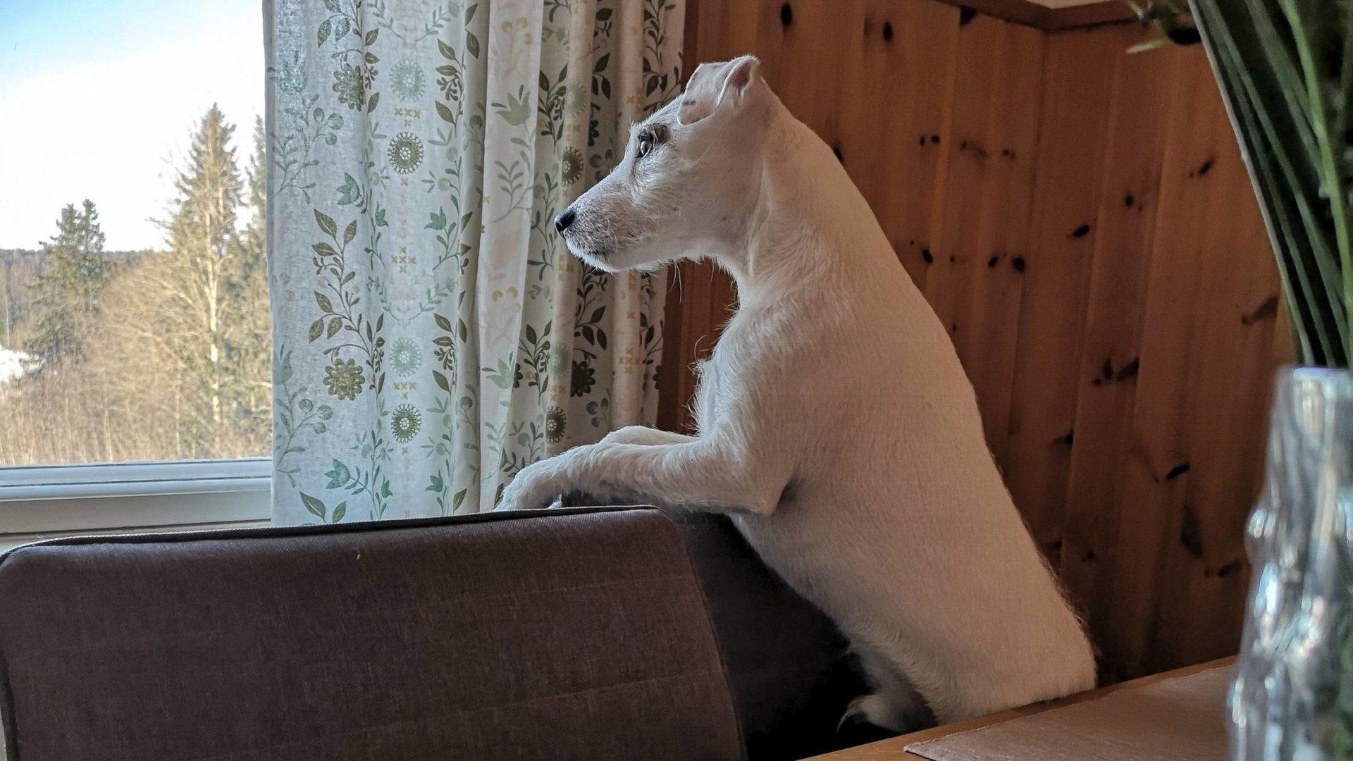 koira haukkuu yksin kotona