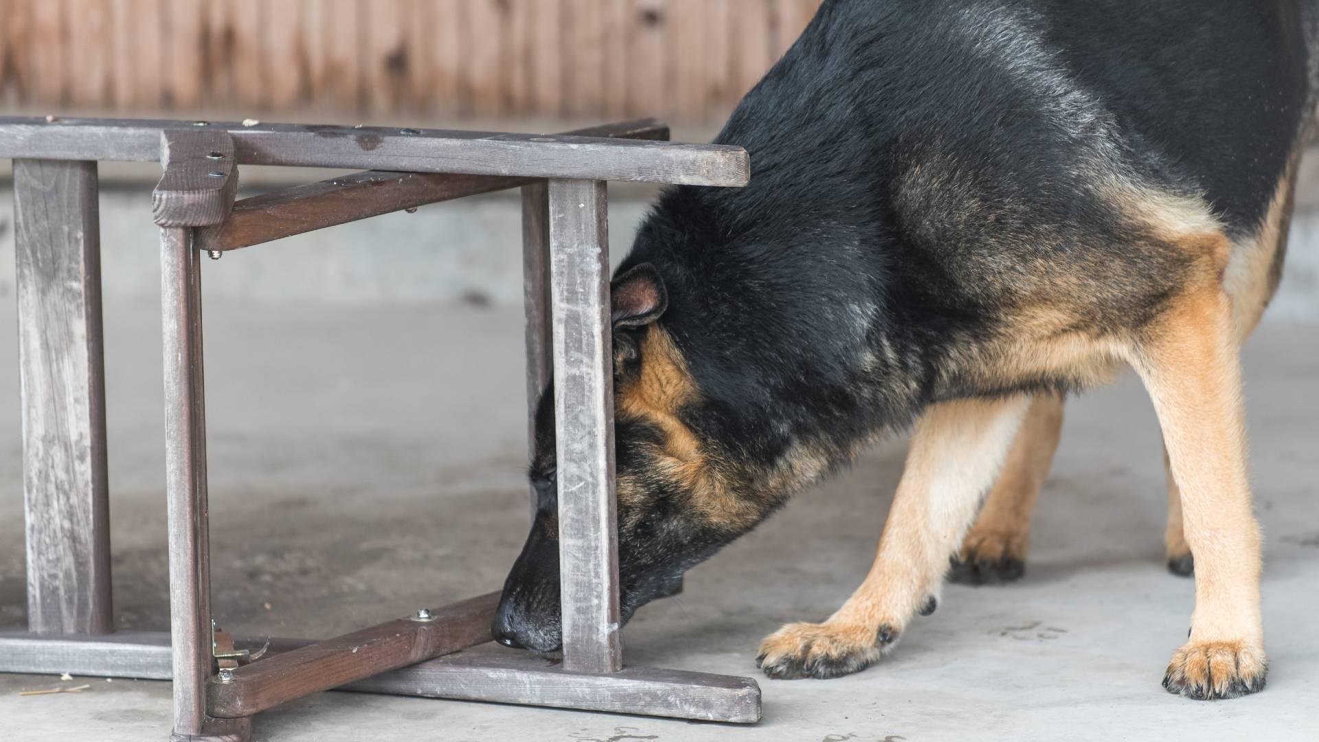 nosework koiran vireensäätely